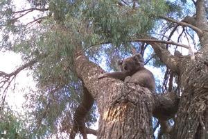 koala in the grounds of Kallara